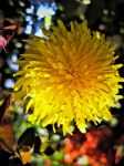 Dandelion by iriscup