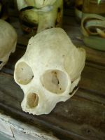 Costa Rica - Monkey Skull by Amska