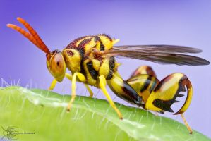 Chalcid Wasp - Conura amoena by ColinHuttonPhoto