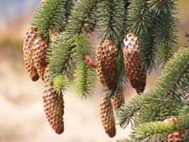 Pinecones 02 by Axy-stock