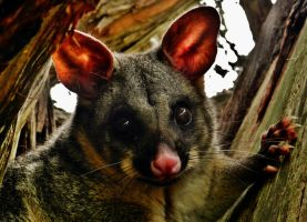 Brushtail Possum (Trichosurus vulpecula) Again! by Illirik