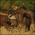 Buffaloes Nuisance by GREYFading