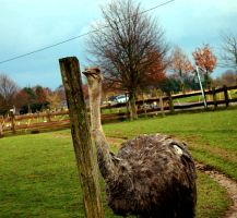 Emu next to a fence. by Lilino