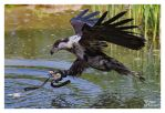 African Fish Eagle II by W0LLE