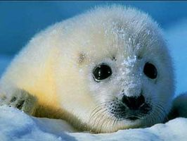 Harp Seal. by propertyofstupidity