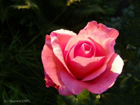 Not only red roses are beautiful by Shadow134PL