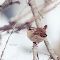 Little Wren by FreyaPhotos