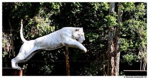 Leaping White Tiger by TVD-Photography