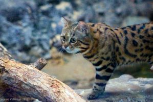 Black Footed Cat 2 by ChaosToGlory