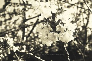 Cherry blossoms - Old style by L0stLove