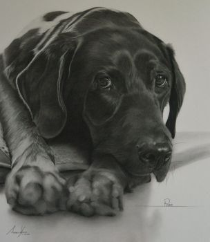 Commission - Black Labrador 'Penny' by Captured-In-Pencil