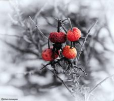 Wild Rose hips - sc by imonline
