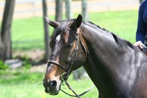Bay Dutch Warmblood Gelding with Bridle by HorseStockPhotos