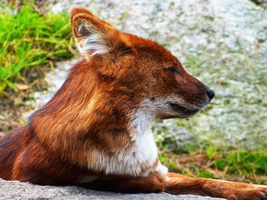Dhole3 by TheMysticWolf