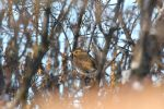 Fat Redwing by spartout
