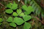 Shamrocks by DaughterofFenris