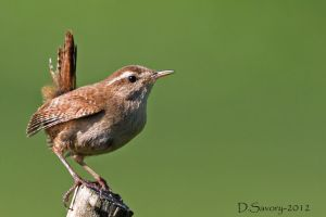Wren close up by Slinky-2012