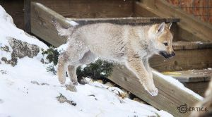Baby Wolfdogs Can Fly by Czertice