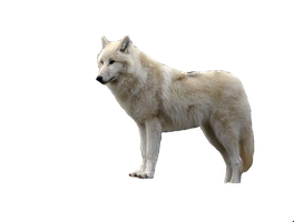 Tundra wolf.png by lutara123