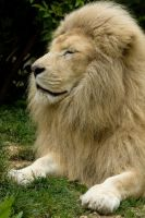d1207 - White Lion by Jay-Co