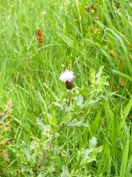 Little Scottish Thistle by Fea-Fanuilos-Stock