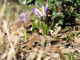 Crocus 2: signs of spring by musicsuperspaz