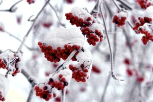 Frozen Rowan Berries by Perzec