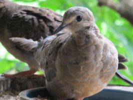 Placid Little Mourning Dove 8 by Windthin