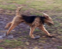 Airedale Terrior 2 by BVS-stock