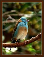 Cordon Blue Waxbill by SteelCowboy