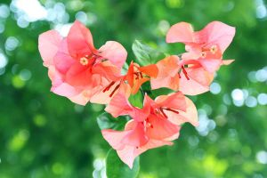 the heart of bougainville by lisz