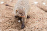 Banded mongoose. by Ravenith