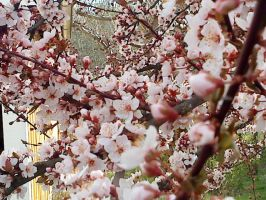 Cherrytree Flowers 1 by Table-Sama