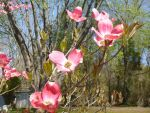 Dogwood blossoms by snaphappy101