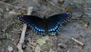 Blue Swallowtail by panda69680102