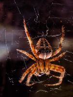House Spider Macro by Mackingster