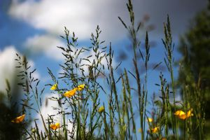 grass and Buttercups by swandundee