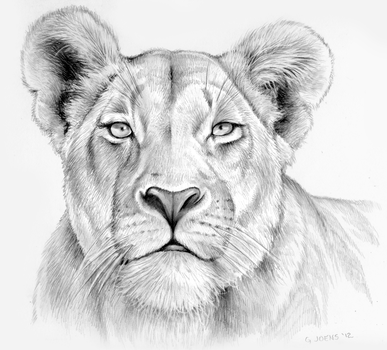 Lioness in pencil by gregchapin