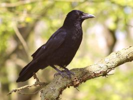 Corvus Corax or Common Raven 3 by pagan-live-style