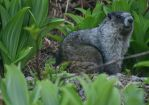Marmot in the Medows by Jack-13