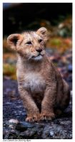 Indian Lion Cub by Reto
