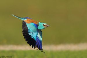 European Roller by RichardConstantinoff