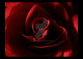 Dark rose by lexidh