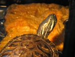 Red Eared Slider by Polly-Stock