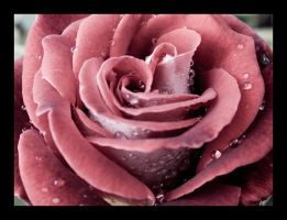 Wet Rose by JMarie-Photography