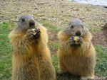 Greedy marmots by Momotte2