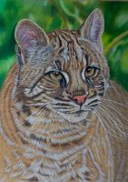 Asian Golden Cat by Sarahharas07