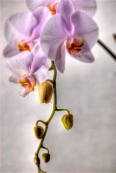Orchid 20 by Art-Photo