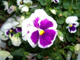 Pansy stock by seiyastock