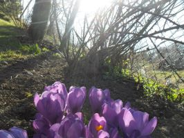 The first crocuses by AbsoluteTook
